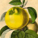 Free-Botanical-Art-Prints-GraphicsFairy-sm-786x1024